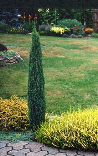 Dwarf Pencil Point Juniper (Juniperus communis 'compressa')  Photo by Charlene Harris.  American Conifer Society website