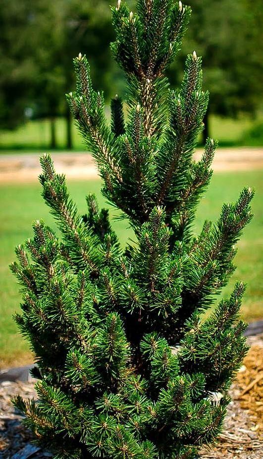 Dwarf Japanese Plack Pine (Pinus thunbergii 'Kotabuki')  Photo Credit: The Tree Center