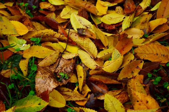 Thick covering leaves will have a negative impact on your lawn.