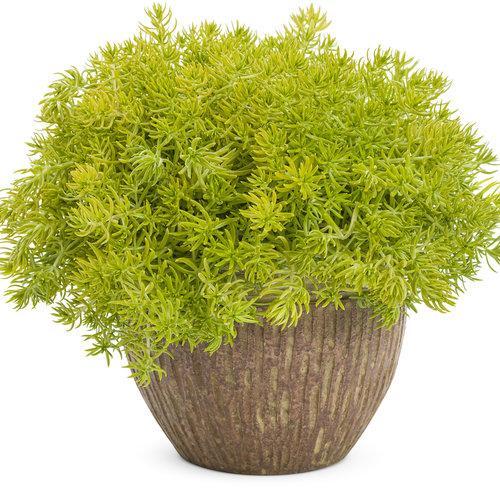 Sedum 'Lemon Coral'.  Courtesy of Proven Winners