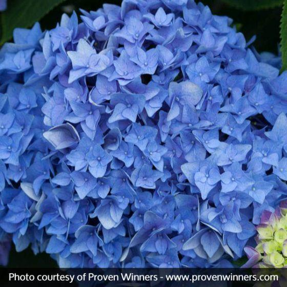 'Let's Dance Rhythmic Blue' Hydrangea