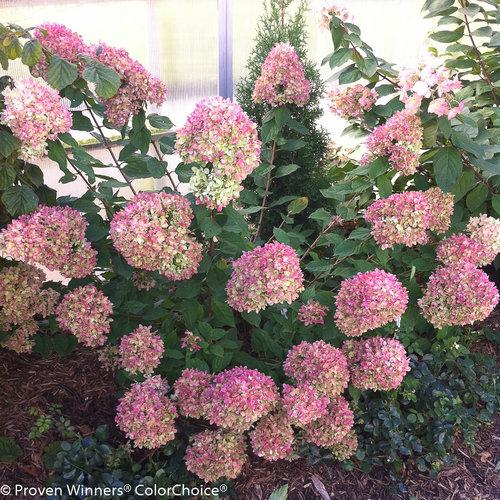 'Little Lime' Hydrangea paniculata.  Great if you lack the space for Limelight but equally colorful.  Tops out at 3-5'.  Photo Credit: Proven Winners