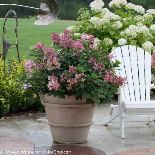 'Little Quick Fire' Hydrangea paniculata.  Scaled-down version of Quick Fire hydrangea and has early blooms and great foliage.  Photo Credit: Proven Winners