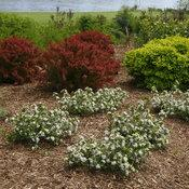 Low Scape Mound Aronia.  Photo courtesy of Proven Winners