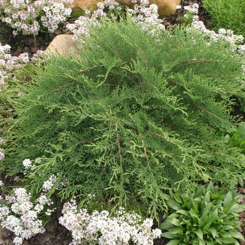 Celtic Pride Siberian Cypress.  Photo: Proven Winners