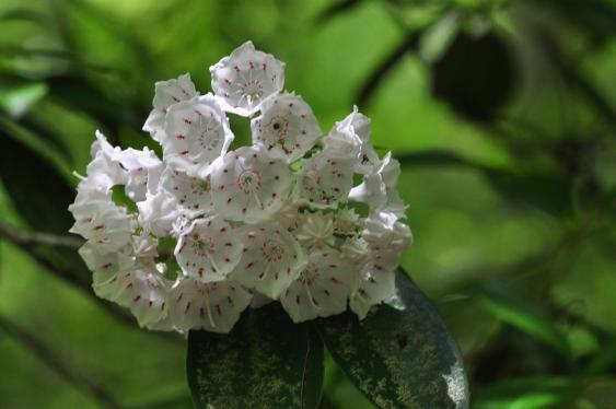 Mountain laurel.  Photo Pixabay