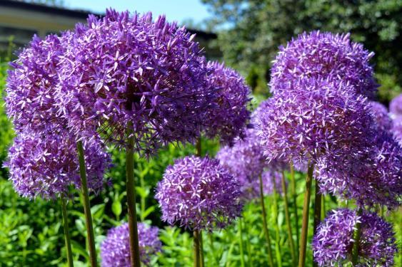 Alliums.  Credit: Pixabay