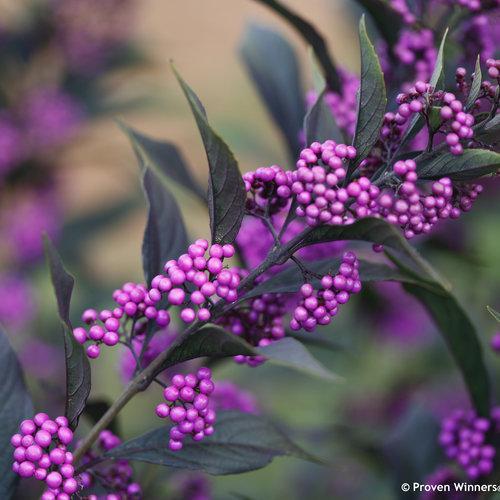 Pearl Glam callicarpa (Beautyberry).  Photo: Proven Winners