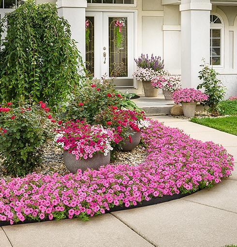 Supertunia-vista bubblegum annuals.  Photo: Proven Winners.