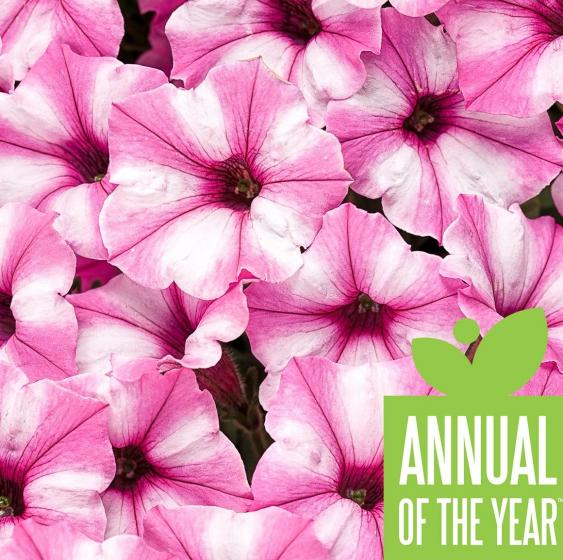 Supertunia Mini Vista Pink Star was voted 2021 Annual of the Year.  Photo Credit: Proven Winners