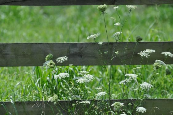 Queen Anne's Lace - a nice weed for a natural environment