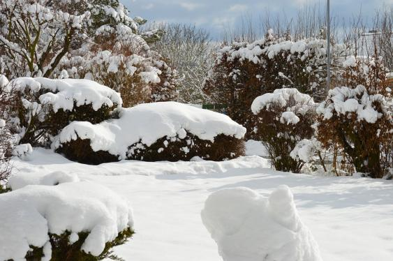 Use upward motion when removing heavy snow from shrubs.