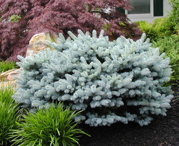 Dwarf Conifers For The Garden Whitehouse Landscaping