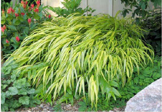 ornamental grasses for shade  whitehouse landscaping, Natural flower