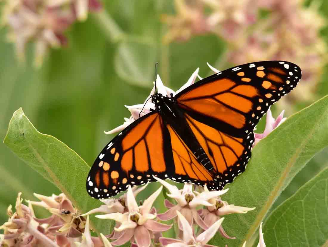 a monarch butterfly feeds on milkweed photo tom koemerusfws