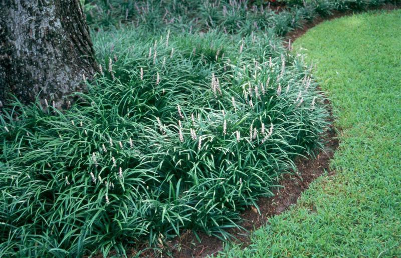 Liriope Spicata Lawn L...